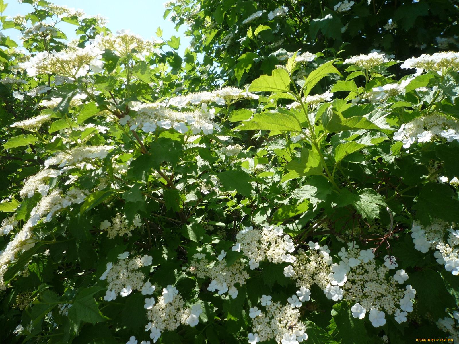 картинки цветет в доме калина некрополе можно увидеть